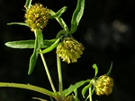 Nodding Bur-Marigold (Bidens cernua)